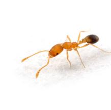 Mrówka faraona przed dezynsekcją w Białymstoku