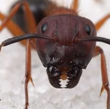 Likwidacja mrówek pospolitych w ramach dezynsekcji