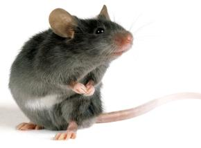 Deratyzacja myszy domowej w Białymstoku