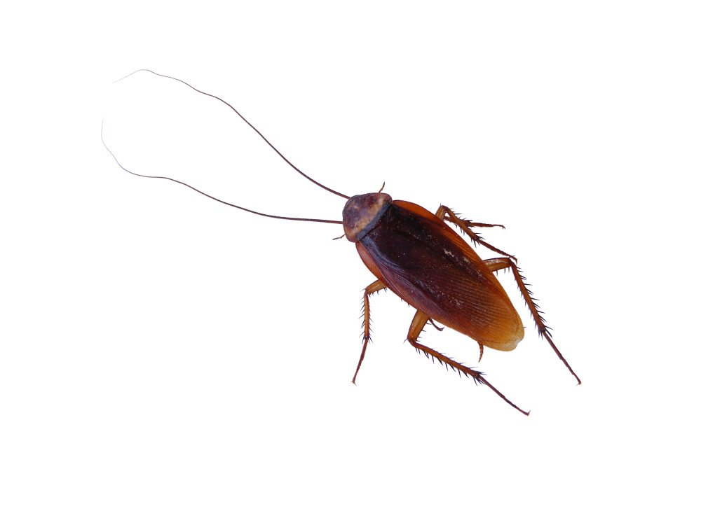 Dezynsekcja prusaków i karaluchów w Białymstoku