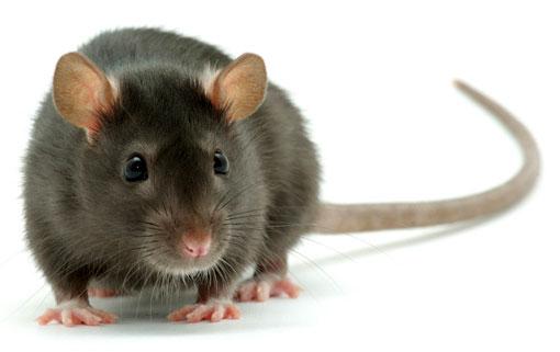 Deratyzacja szczura w Białymstoku
