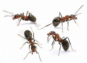 Likwidacja mrówek w ramach dezynsekcji