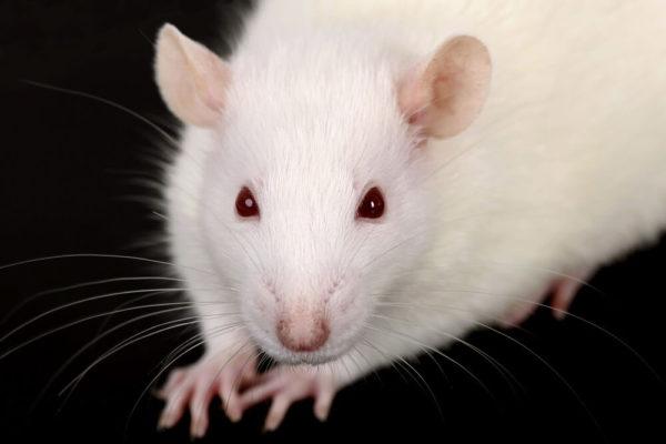 biała mysz usuwana podczas deratyzacji Białegostoku