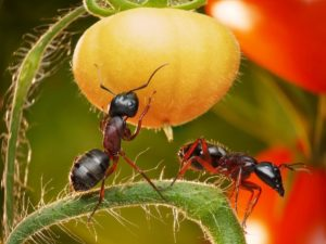 mrówki z bliska
