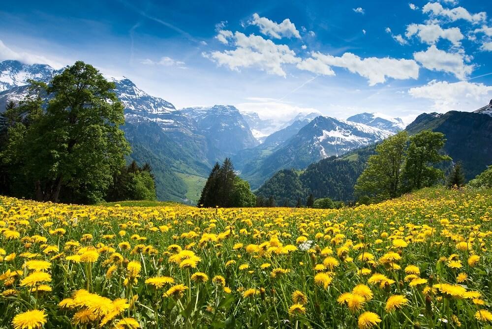 osy lubią żółte kwiaty na łące