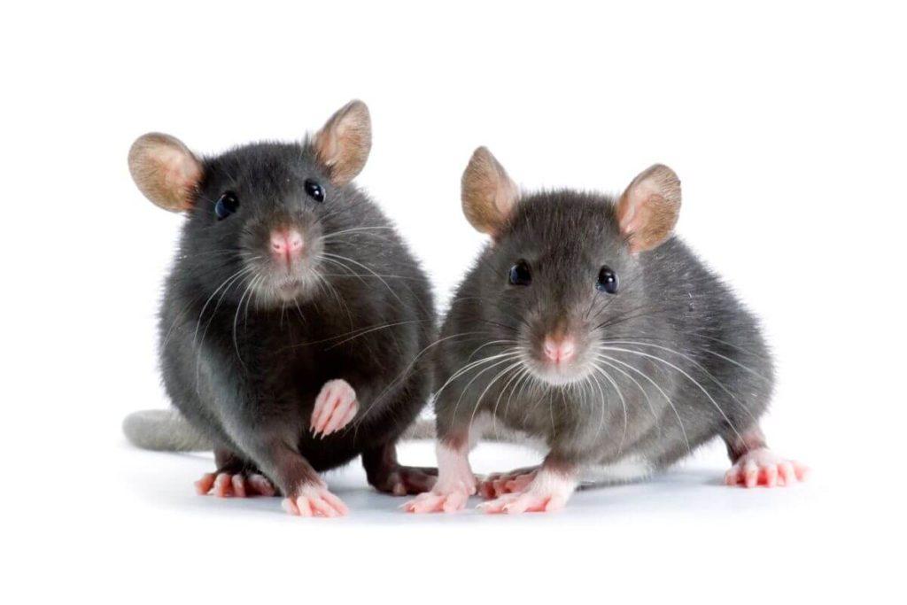 Deratyzacja zwalczanie szczurów Białystok