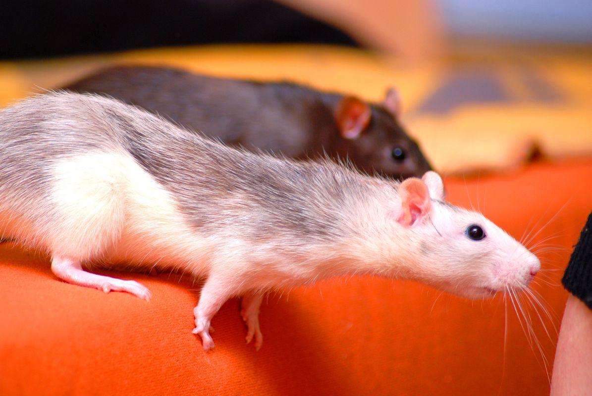 Deratyzacja - likwidacja szczurów Białystok