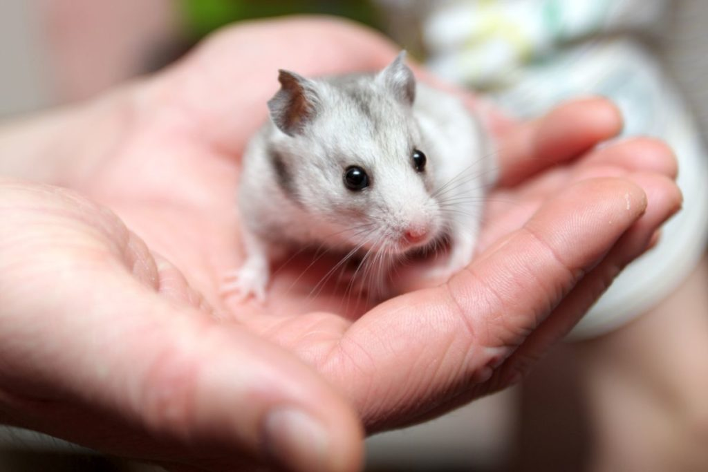 Deratyzacja szczurów Łomża