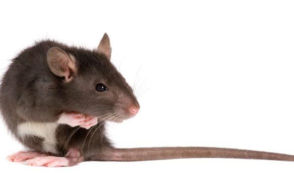 Deratyzacja szczurów i gryzoni Białystok