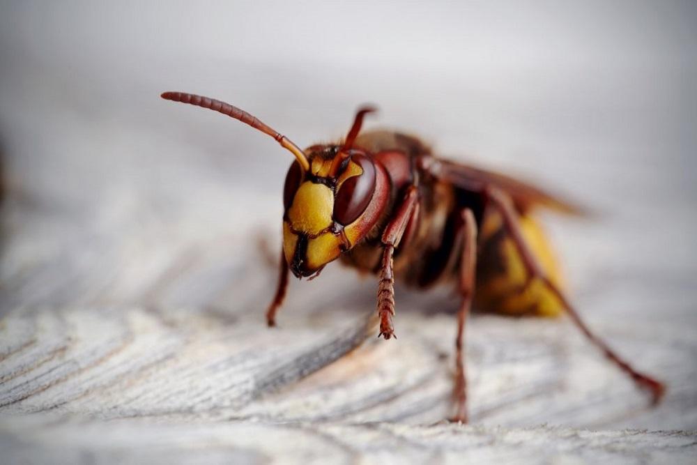 usuwanie gniazd owadów szerszeni