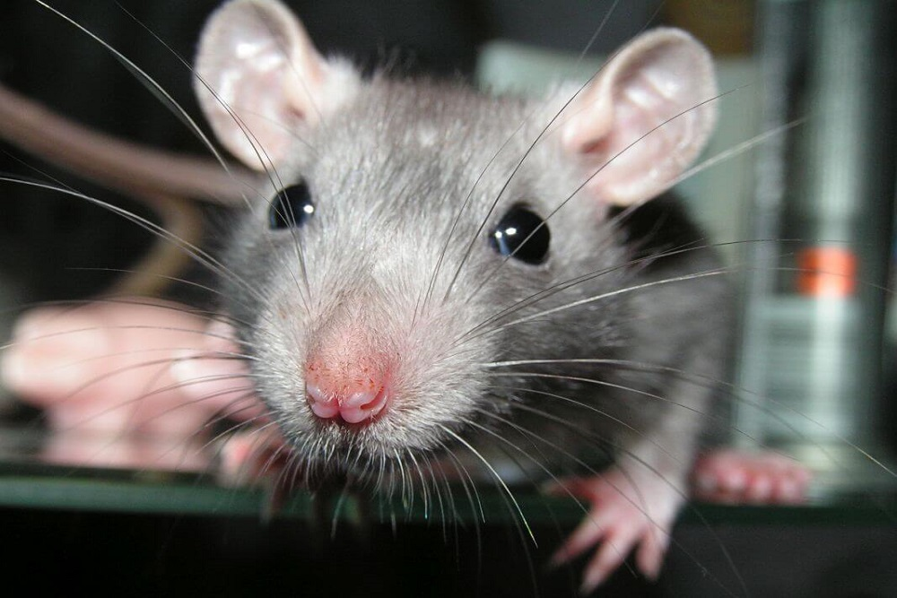 szczur do deratyzacji