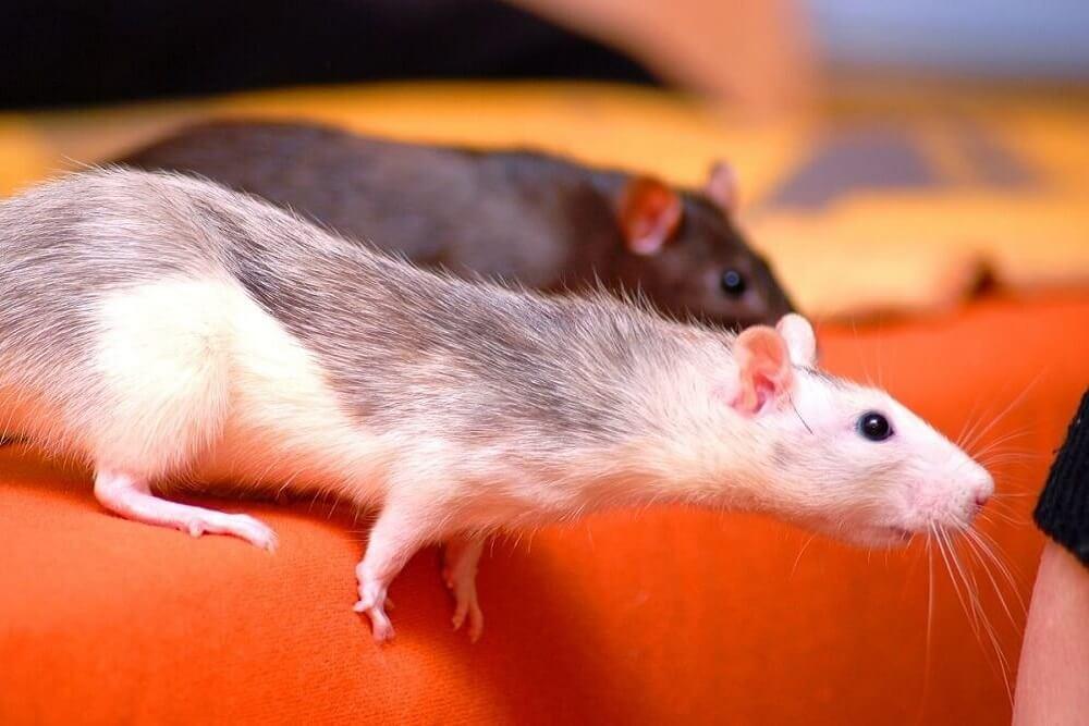 szczury przed deratyzacją