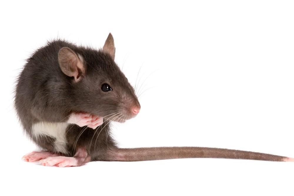 szczur domowy do deratyzacji