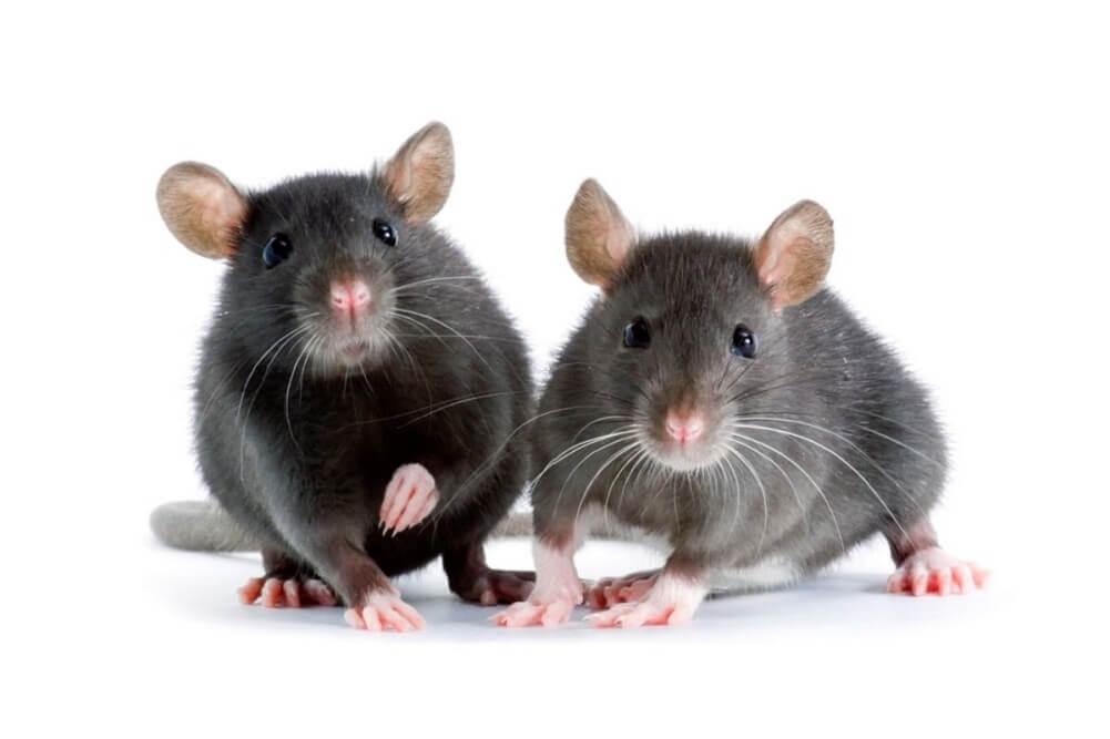 dwa szczury domowe