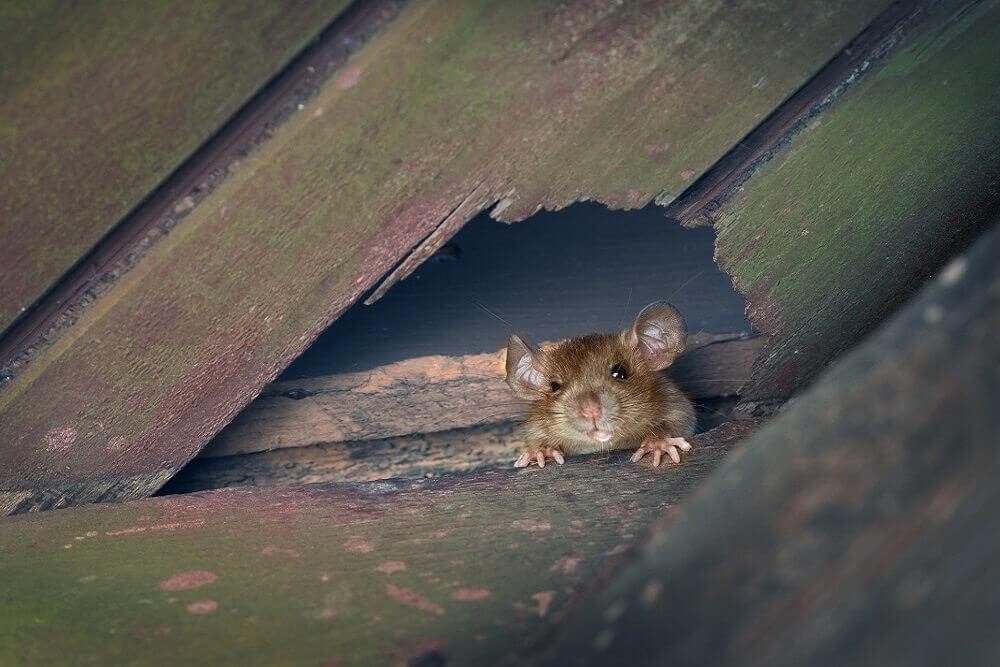 szczur w dziurze na belce