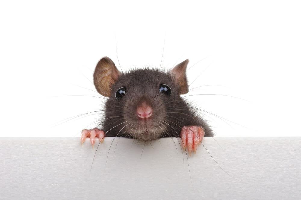 szczur przed deratyzacją
