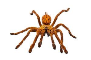 pająk dezynsekcja naturalna